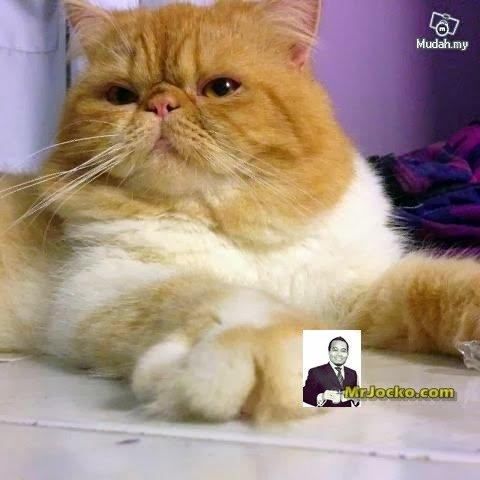 kucing-parsi-02