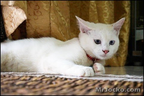 kucing-parsi-oreo-01