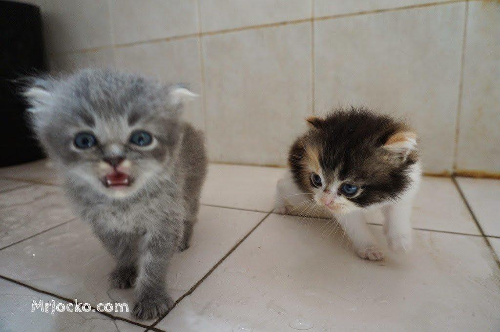anak kucing parsi comel 05