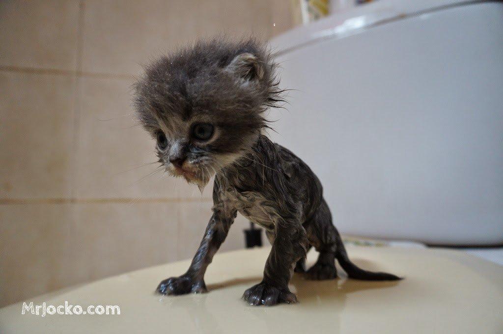 anak kucing parsi comel 04