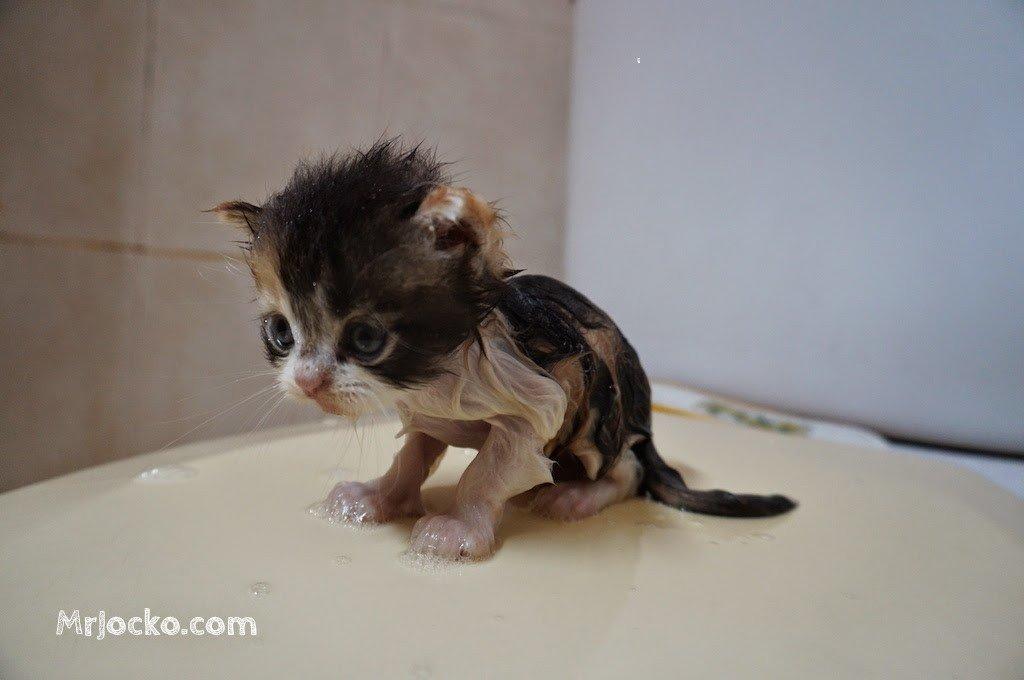 anak kucing parsi comel 03