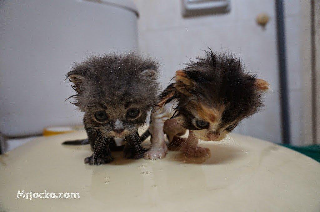 anak kucing parsi comel 02