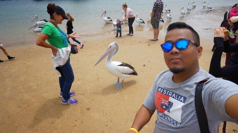 pelican_feeding_phillip_island_01