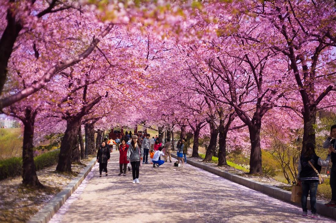 musim-bunga-korea