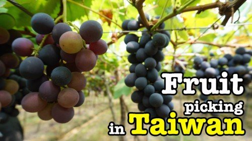 Fruit Picking In Taiwan : Great Experience For Tourist