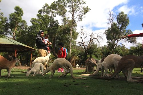 kangaroo caversham wildlife park perth