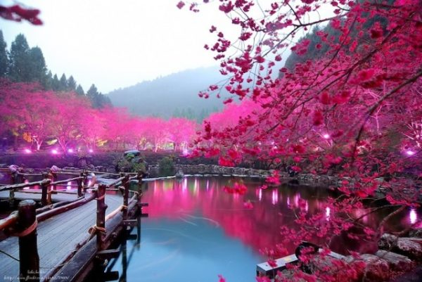 cherry blossom taiwan