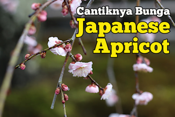 Cantiknya Bunga Ume Japanese Apricot Di Arashiyama Kyoto