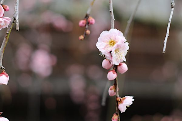 Bunga Ume Japanese Apricot