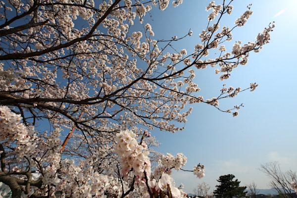 Cherry Blossom Festival Gyeongpo Lake Korea