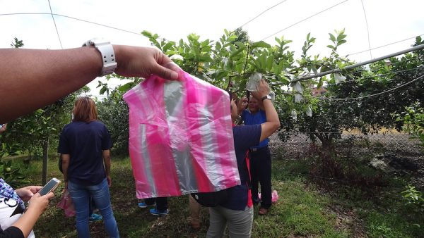 Pengalaman Petik Buah Guava Di Taiwan Agro Tourism