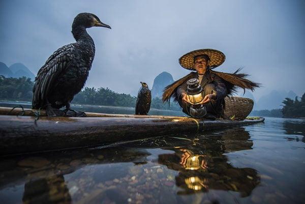 Perikanan cormorant adalah kaedah penangkapan tradisional di mana nelayan menggunakan cormorants terlatih untuk ikan di sungai. Secara sejarah, penangkapan ikan cormorant telah berlaku di Jepun dan China sejak kira-kira 960 AD [1] Ini digambarkan sebagai kaedah yang digunakan oleh orang Jepun kuno dalam Kitab Sui, sejarah rasmi Dinasti Sui China, yang disiapkan pada tahun 636 Masehi. Teknik ini juga telah digunakan di negara lain tetapi kini sedang dalam ancaman di China. [2] [3] [4] Untuk mengawal burung, nelayan mengikat snare berhampiran pangkal tekak burung. Ini menghalang burung daripada menelan ikan yang lebih besar, yang dipegang di kerongkong mereka, tetapi burung boleh menelan ikan yang lebih kecil. Apabila seekor kormor menangkap ikan di kerongkongnya, nelayan membawa burung itu kembali ke bot dan burung itu meludah ikan. Walaupun memancing cormorant pernah menjadi industri yang berjaya, kegunaan utamanya adalah untuk berkhidmat kepada industri pelancongan. Jenis-jenis cormor yang digunakan berbeza berdasarkan lokasi. Di Gifu, Jepun, cormorant Jepun (P. capillatus) digunakan; Nelayan Cina kerap menggunakan kormor besar (P. carbo). [5] Darters (anhinga), yang sangat dekat dengan saudara-saudara cormorants, juga digunakan untuk teknik memancing ini sekaligus.