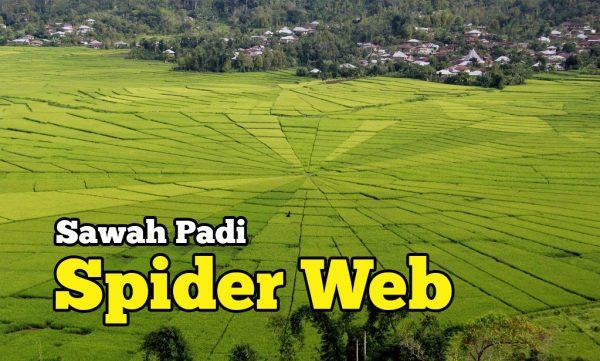 Gambar Sawah Padi Spider Web Gergasi Ruteng Indonesia