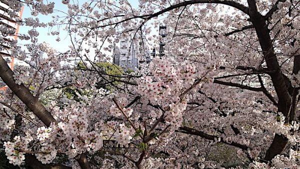 Bunga Sakura Di Yokohama Kanagawa Prefecture Jepun