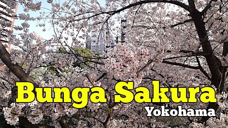 Bunga-Sakura-Di-Yokohama-Kanagawa-Prefecture-Jepun-03-copy