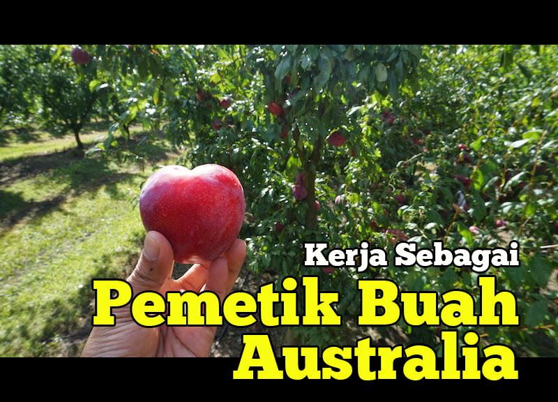 pengalaman-kerja-pemetik-buah-australia-06-copy