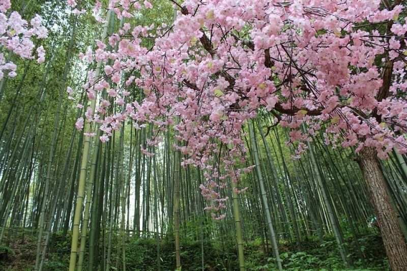 Juknokwon Bamboo Forest Cherry Blossom