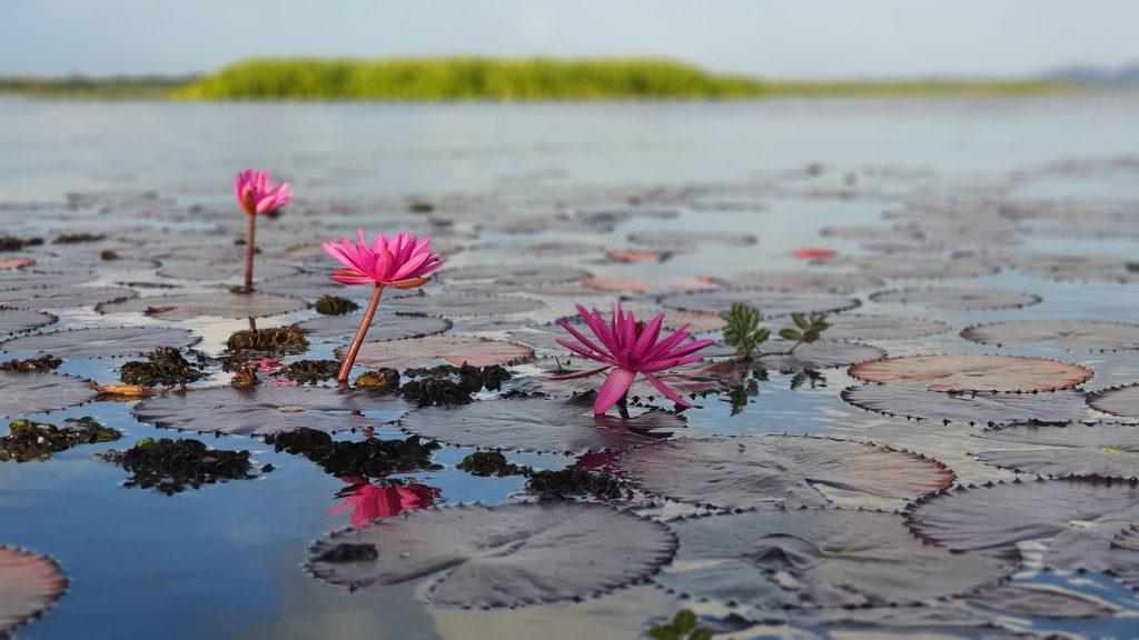 Lotus_Thale_Noi_Waterbird_Park_Phatthalung_03