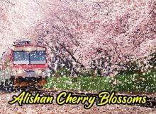 Musim Bunga Di Alishan Taiwan Sudah Bermula 00 copy