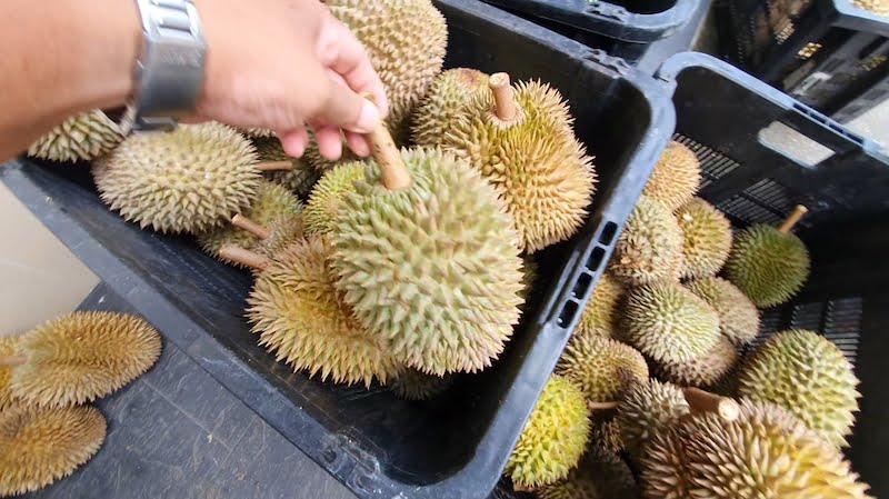 Makan Durian Bukit Jalan Tapah Cameron Highlands 07