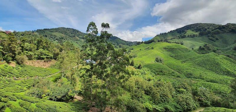 Masuk Percuma Ke BOH Sungai Palas Tea Centre 07