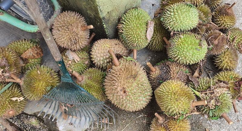 Pakej Day Trip KL Batu Kurau Makan Durian Kampung 01
